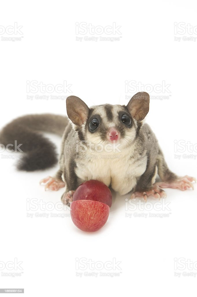 little sugarglider with grape fruit stock photo