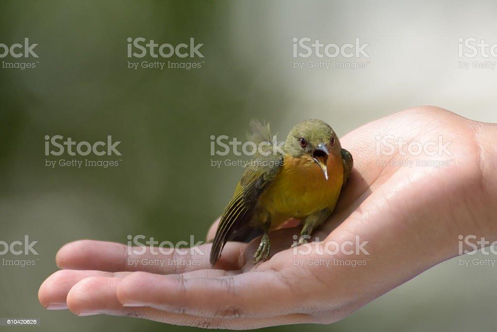 little sunbird on hand stock photo