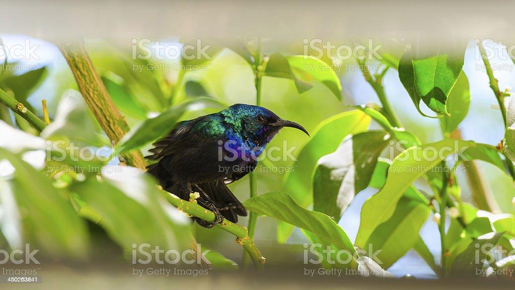Little sunbird sitting on citrus tree stock photo