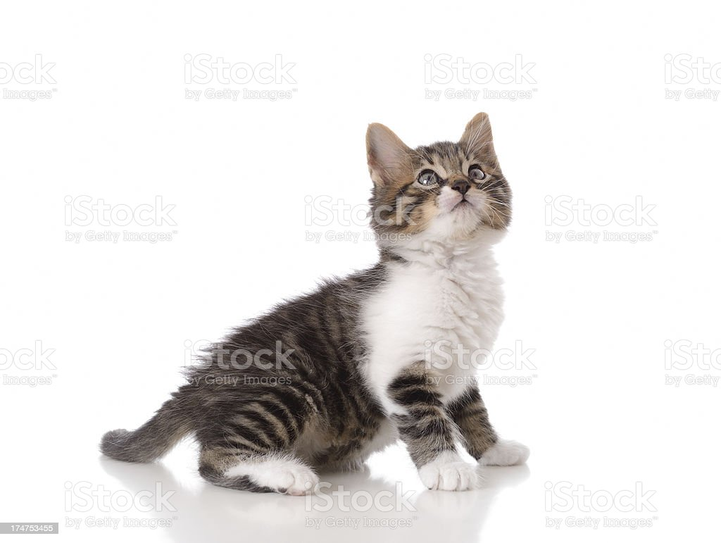 Little tabby cat royalty-free stock photo