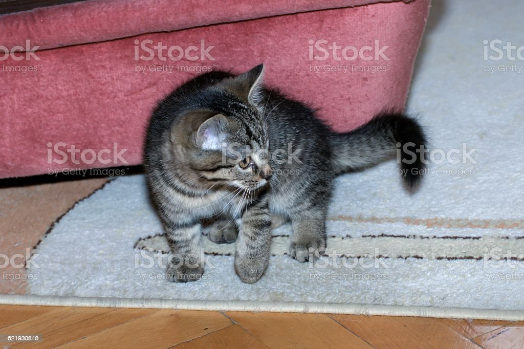 little tabby kittens at play stock photo
