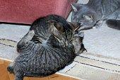 little tabby kittens at play