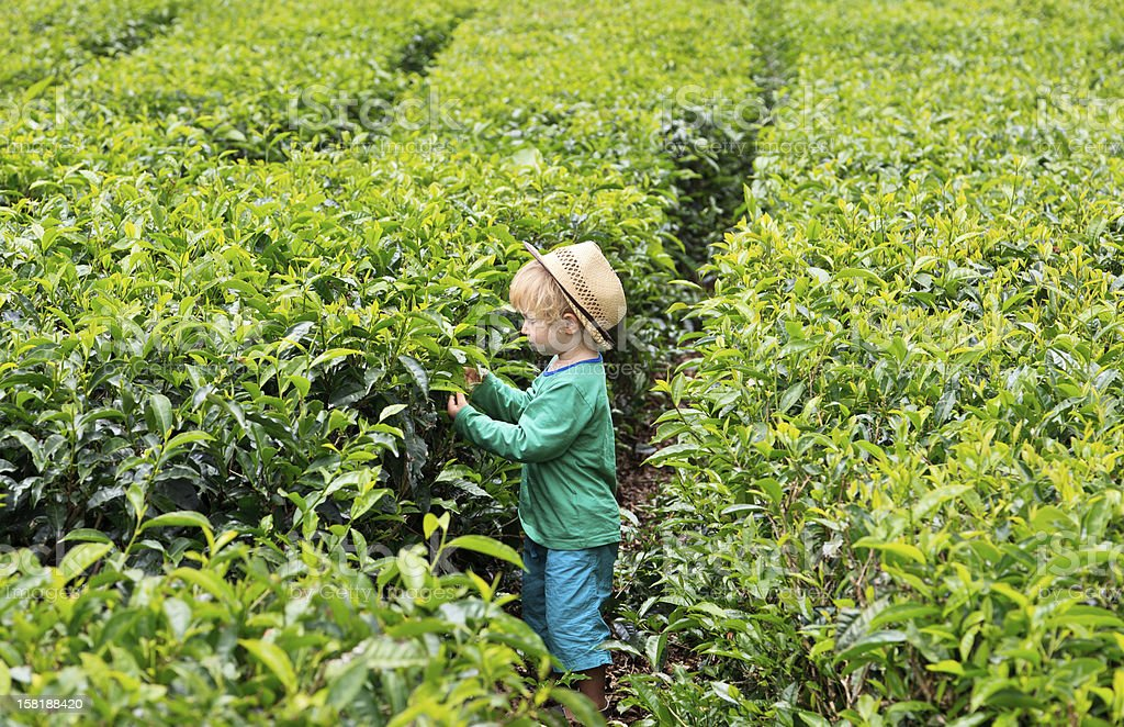 Little tea picker stock photo