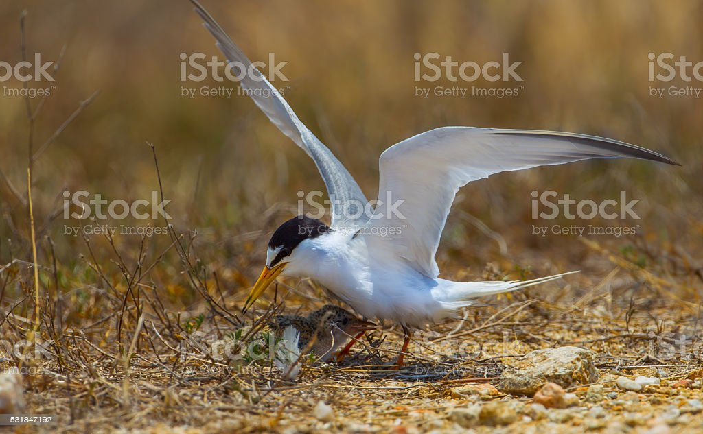 Little tern(Sternula albifrons) stock photo