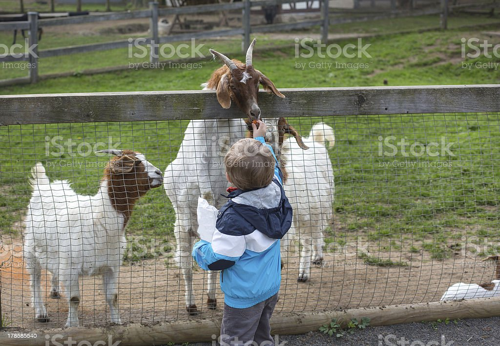 Little toddler boy feeding animals in zoo royalty-free stock photo