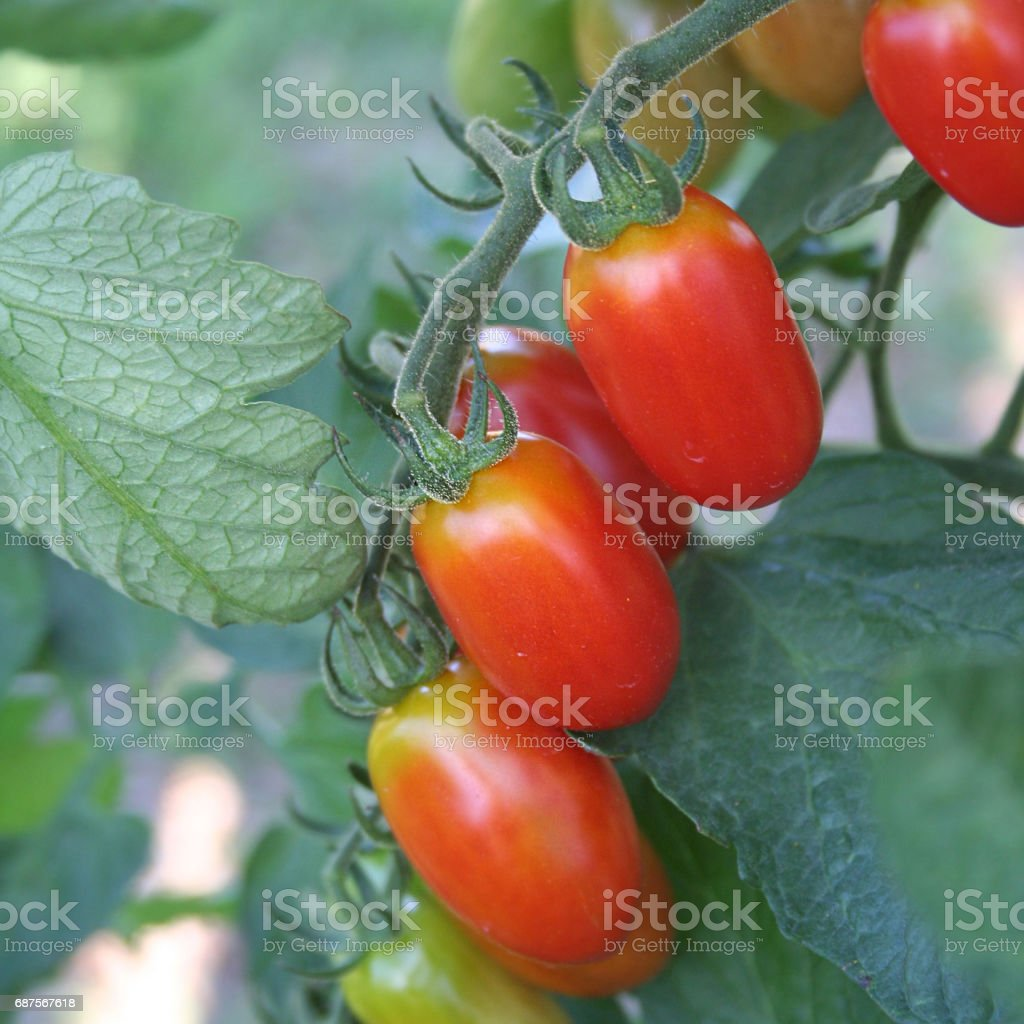 Little tomatoes on plant stock photo