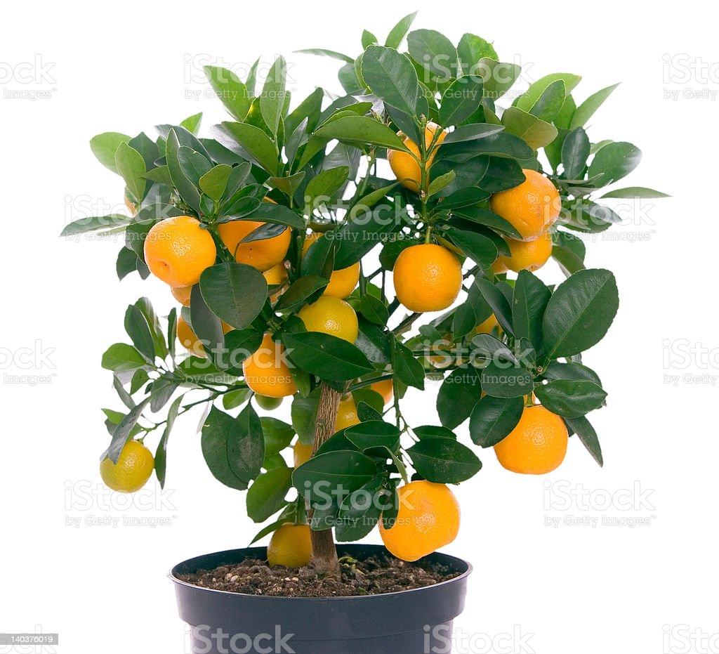 Little tree with oranges stock photo