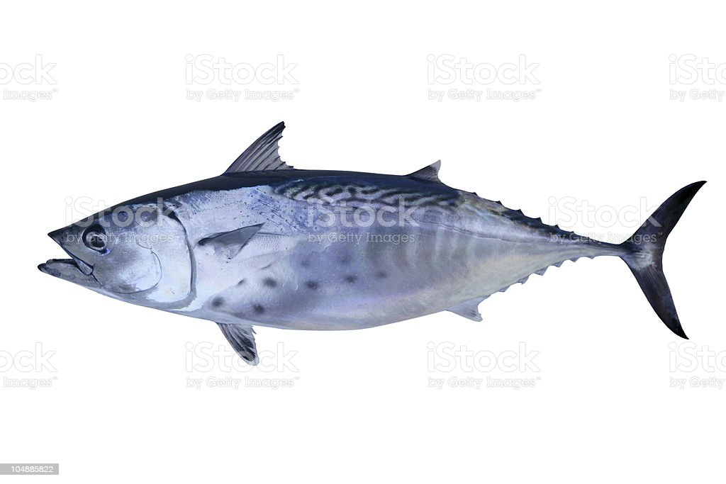 Little tunny catch tuna fish seafood stock photo