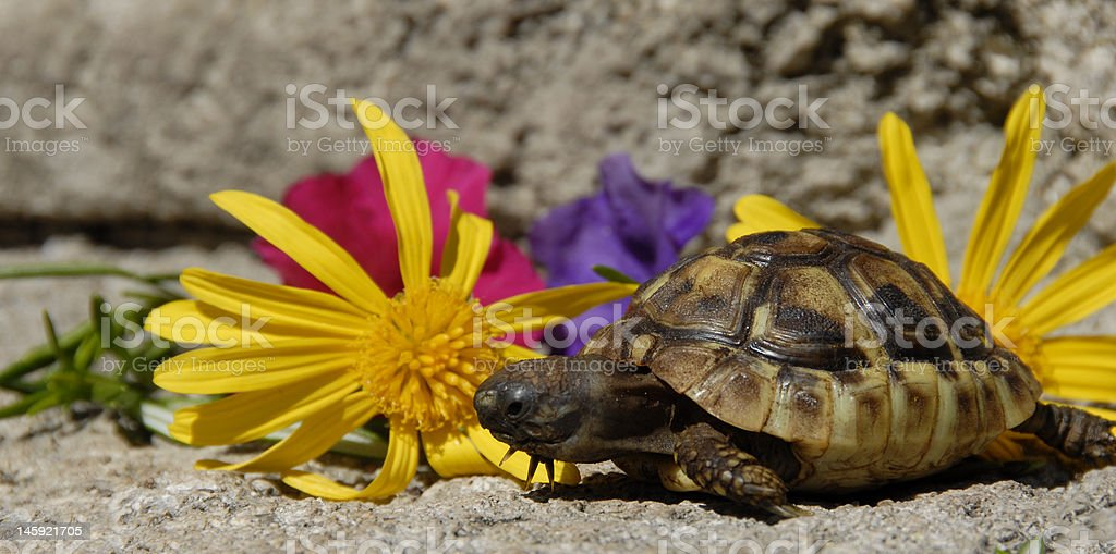 little turtle and flowers royalty-free stock photo