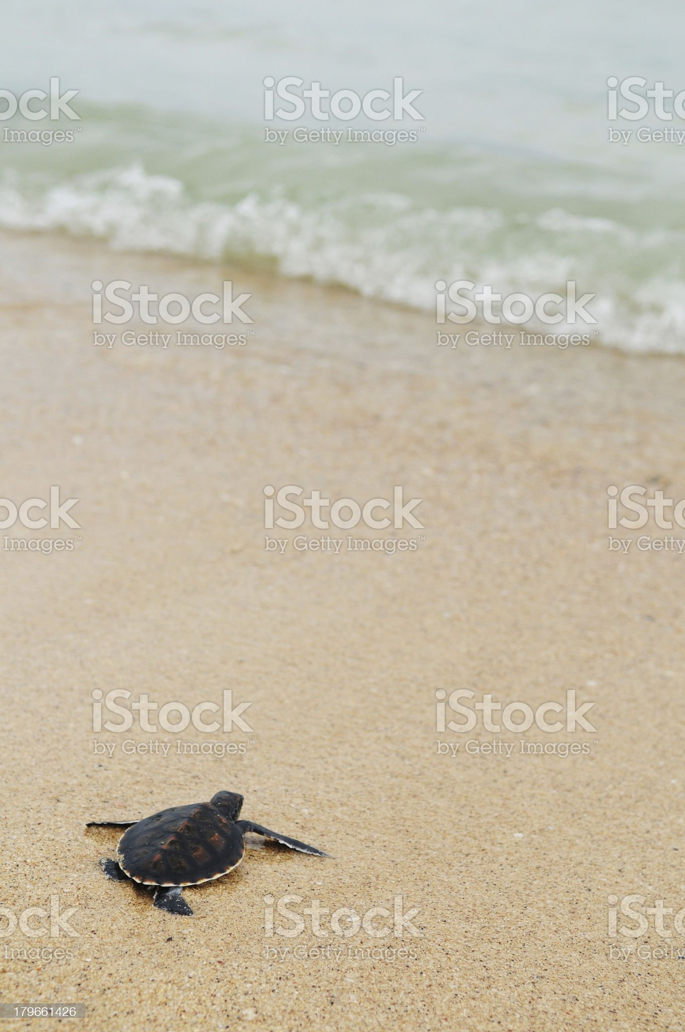 Little turtle go oceans royalty-free stock photo