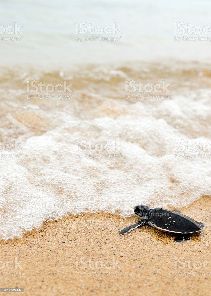 Little turtle go oceans stock photo