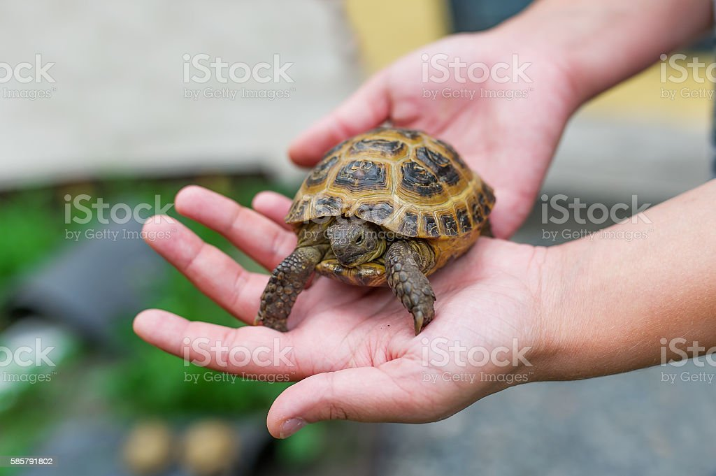 Little turtle in hands stock photo