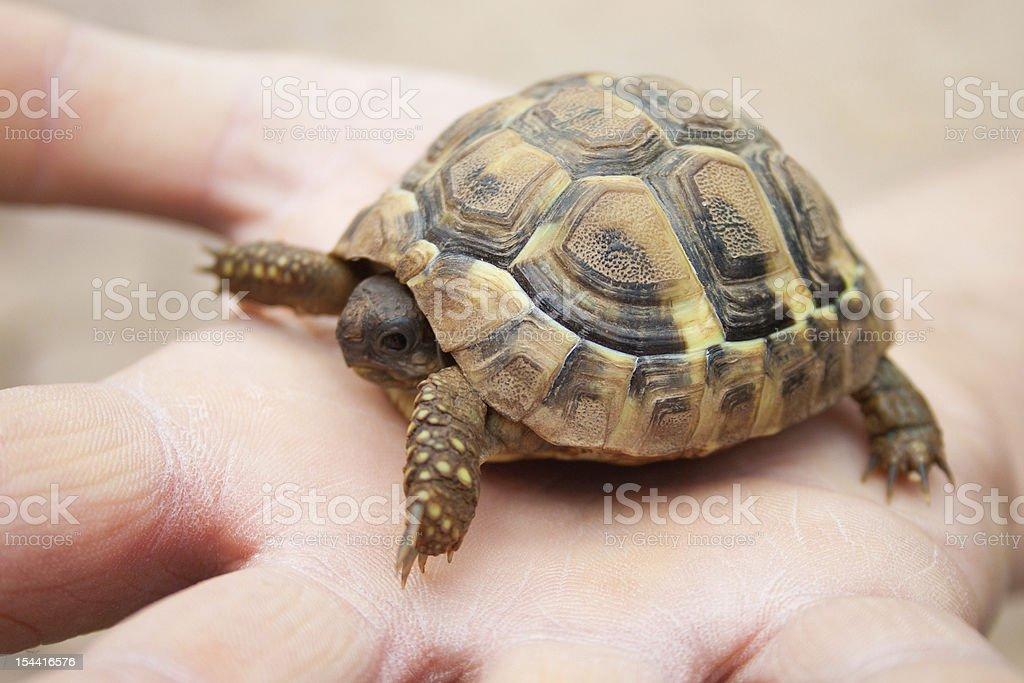 작은 거북이 인간 손 royalty-free 스톡 사진