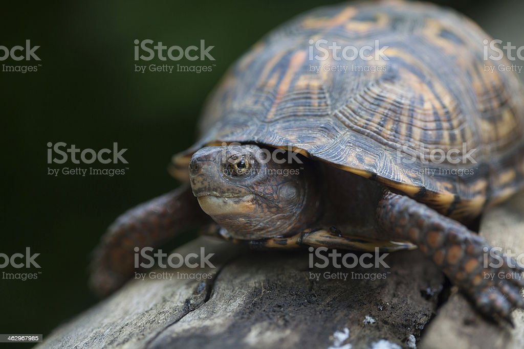 Little Turtle stock photo