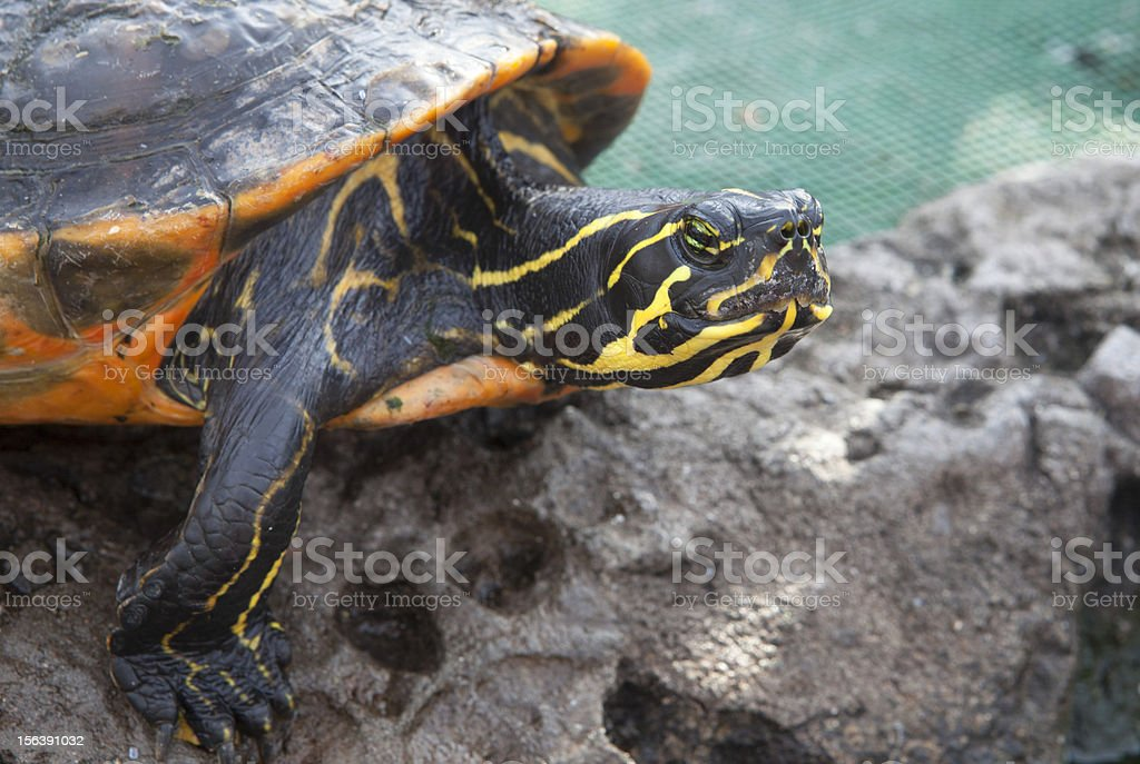 Little turtle with yellow stripes royalty-free stock photo
