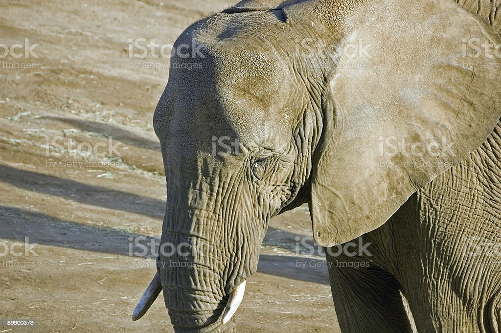 Little Tusks royalty-free stock photo