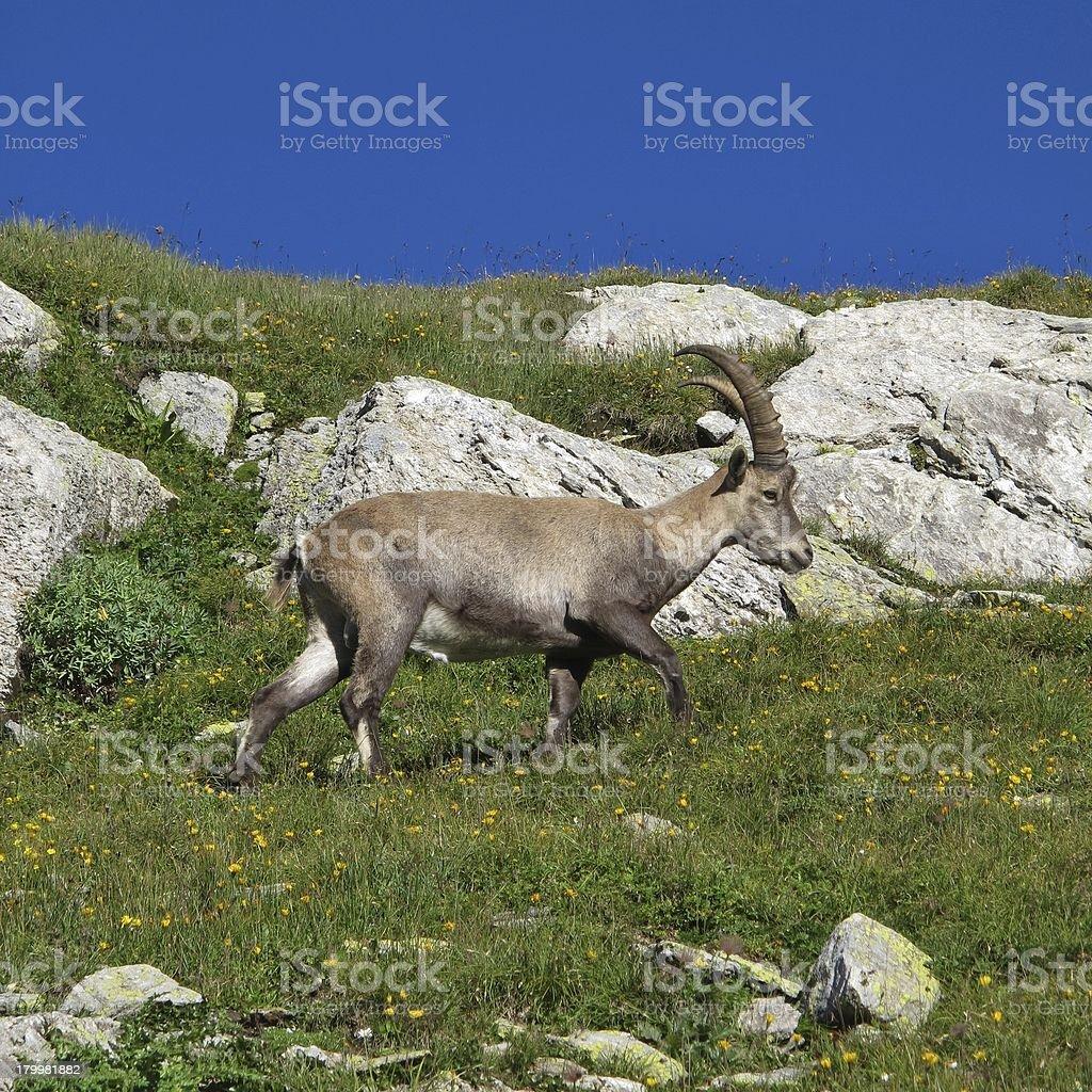 Little walking alpine ibex royalty-free stock photo