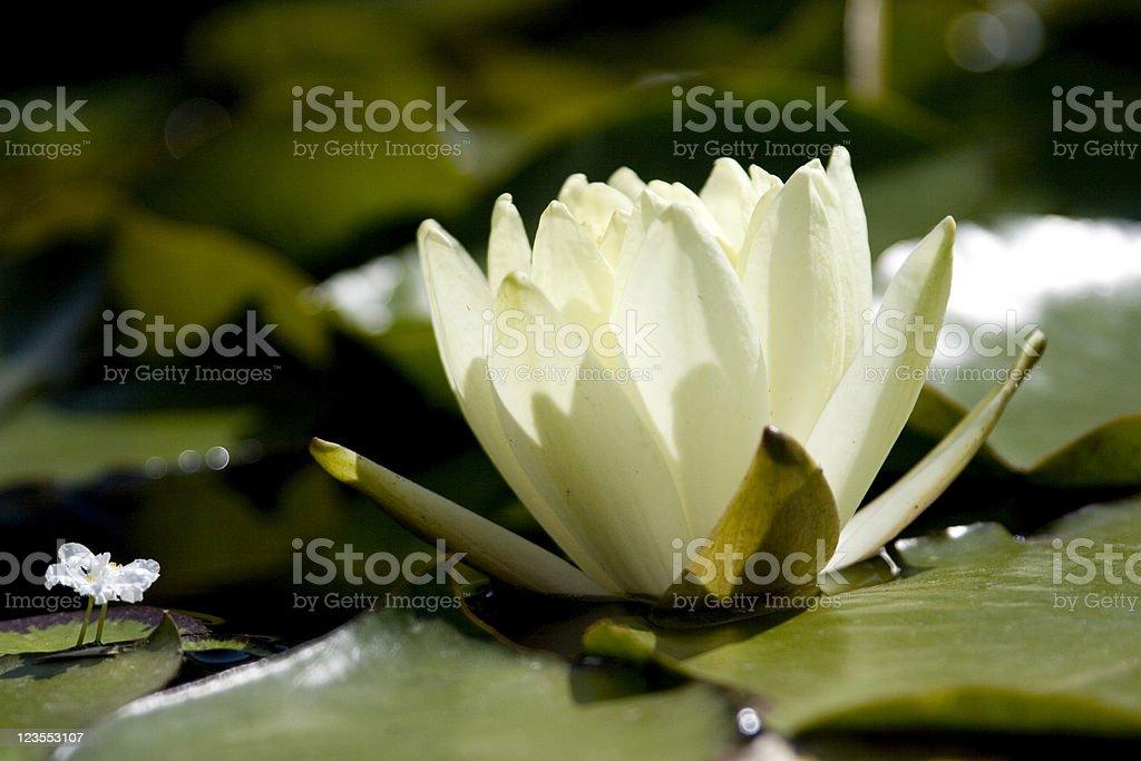Little Water Crowfoot Meets Big Lotus stock photo