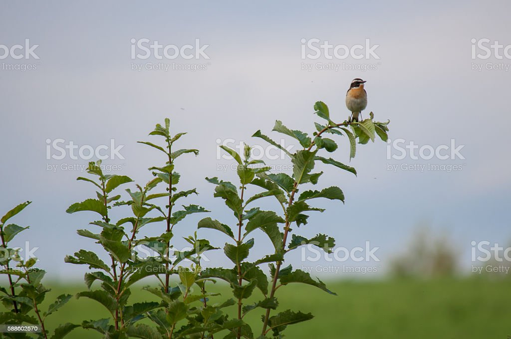 Little Whinchat stock photo