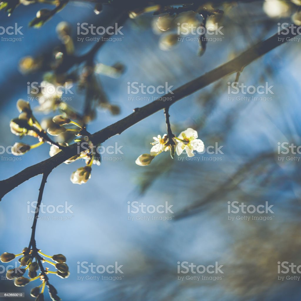 Little white Blackthorn blossoms on a sunny spring day stock photo