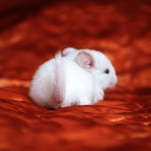 Little white chinchilla is sitting on orange background