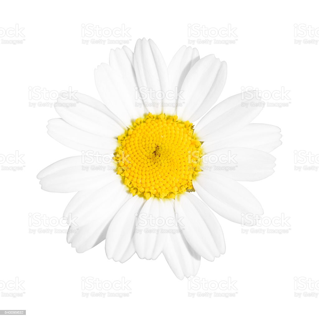 Little White Daisy Flower stock photo