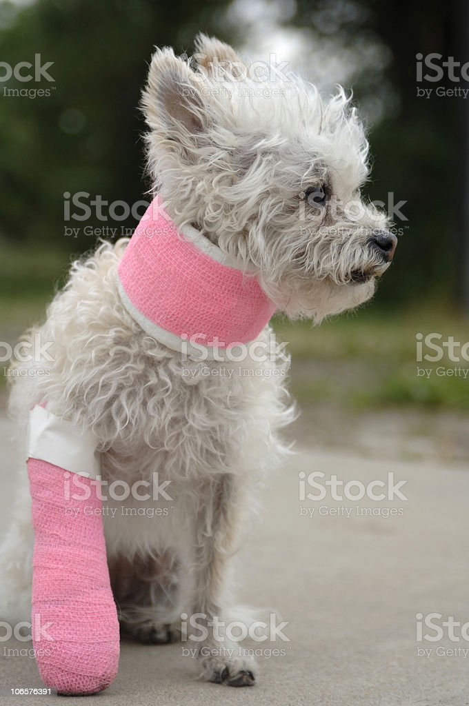 Little white dog in a cast stock photo