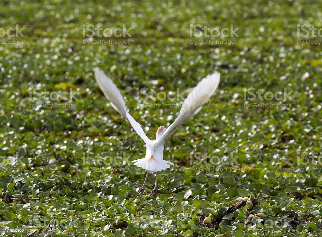 Little white Egret in Flight (Egretta garzetta) royalty-free stock photo