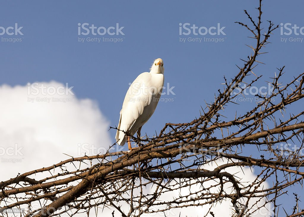 Little white Egret on tree (Egretta garzetta) royalty-free stock photo