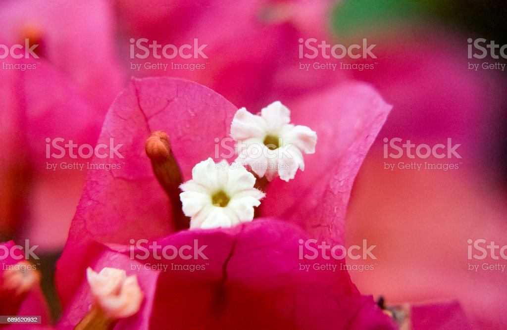 Little white flower inside pink petals stock photo