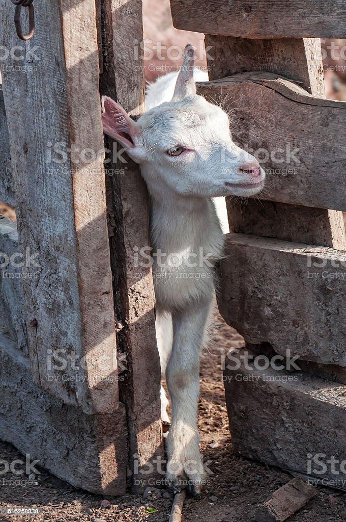 little white goat (goatling) stock photo