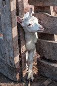 little white goat (goatling)