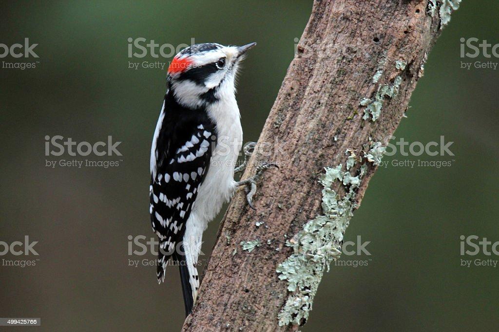 Little Woodpecker stock photo