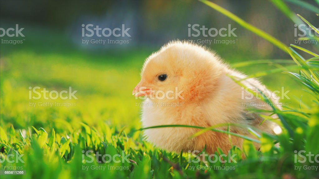 little yellow chicken sitting in green grass, moving heads and pecking grass. Close up stock photo