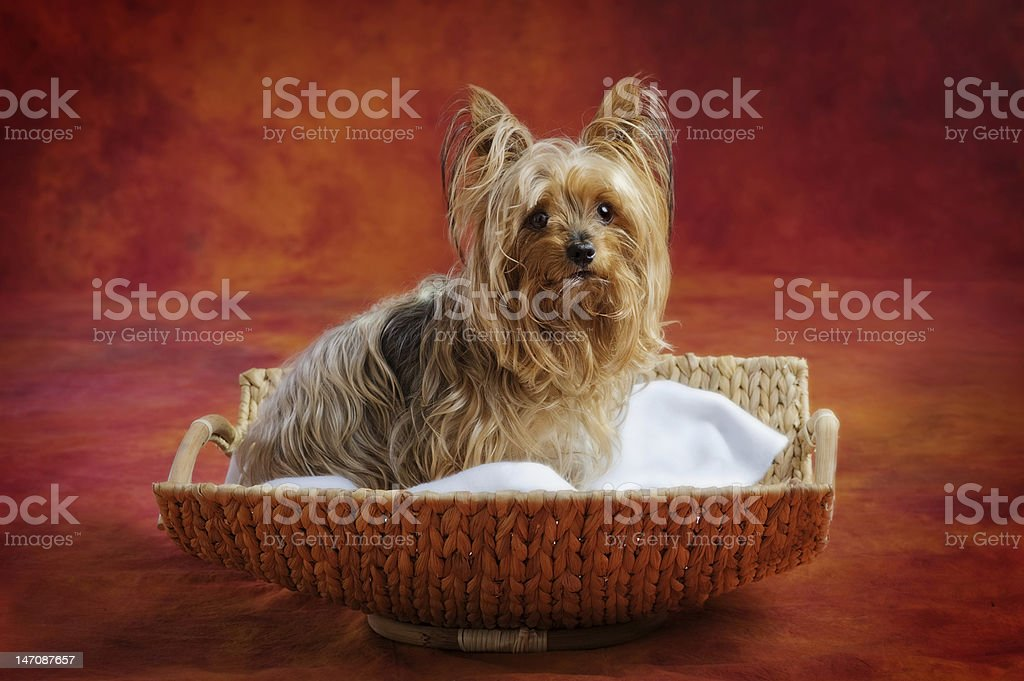 Little Yorkie royalty-free stock photo