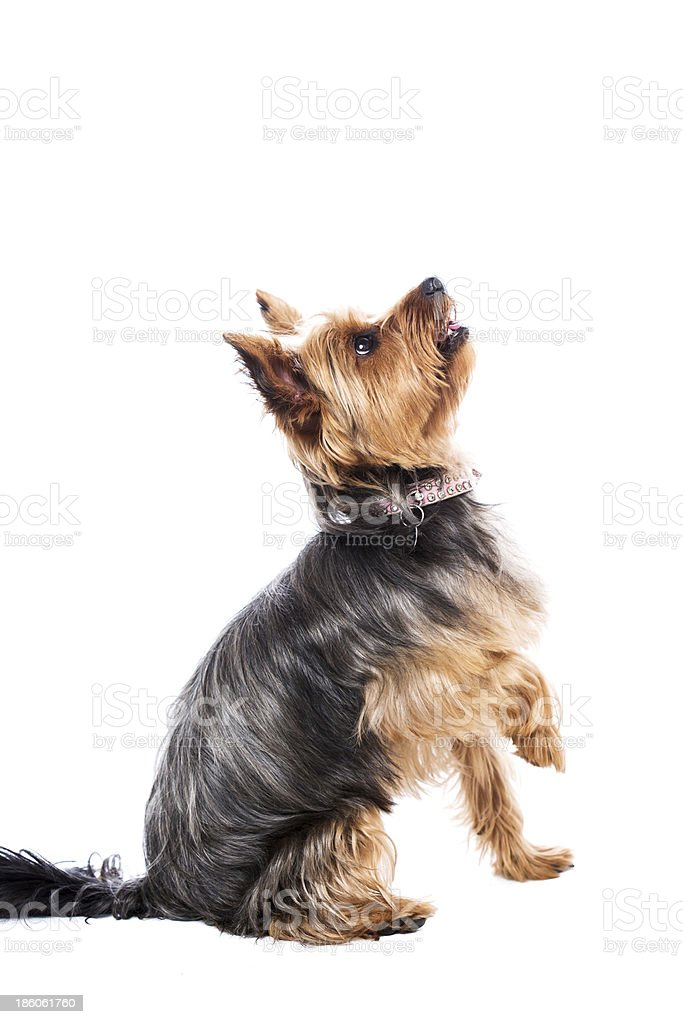 Little yorkshire terrier waiting for food stock photo