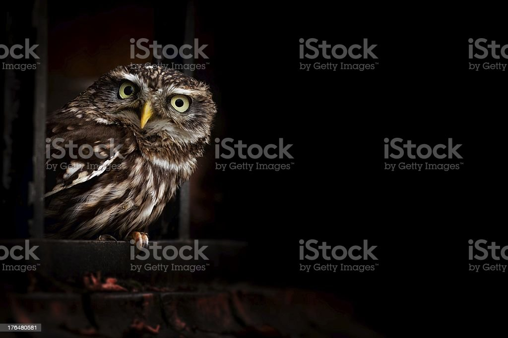 Littlw Owl stock photo