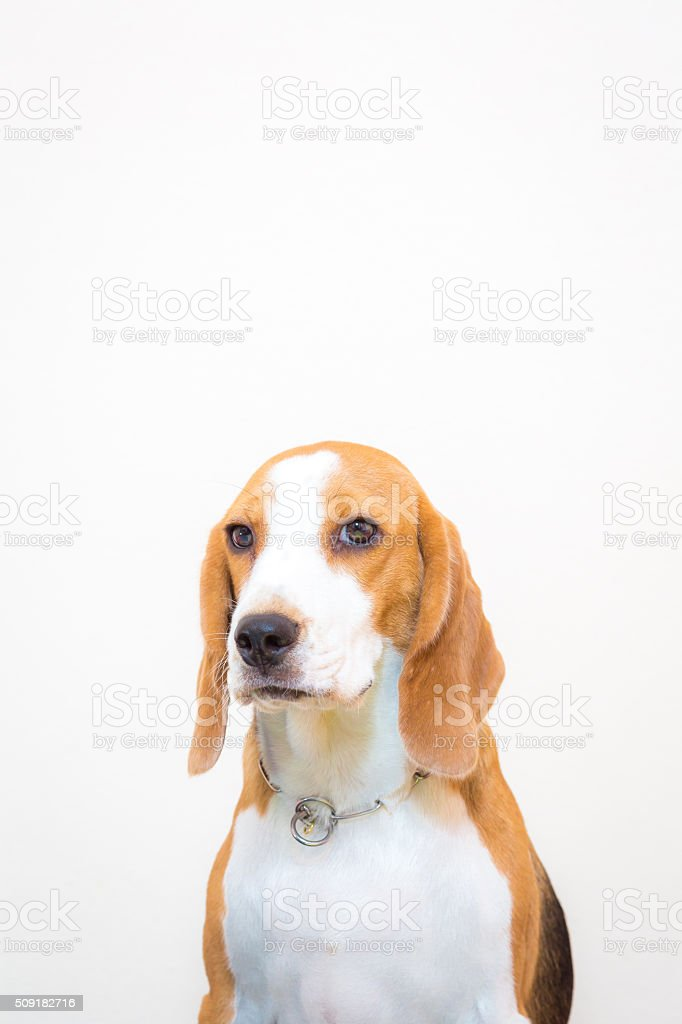 Litttle beagle dog studio portrait - white background stock photo