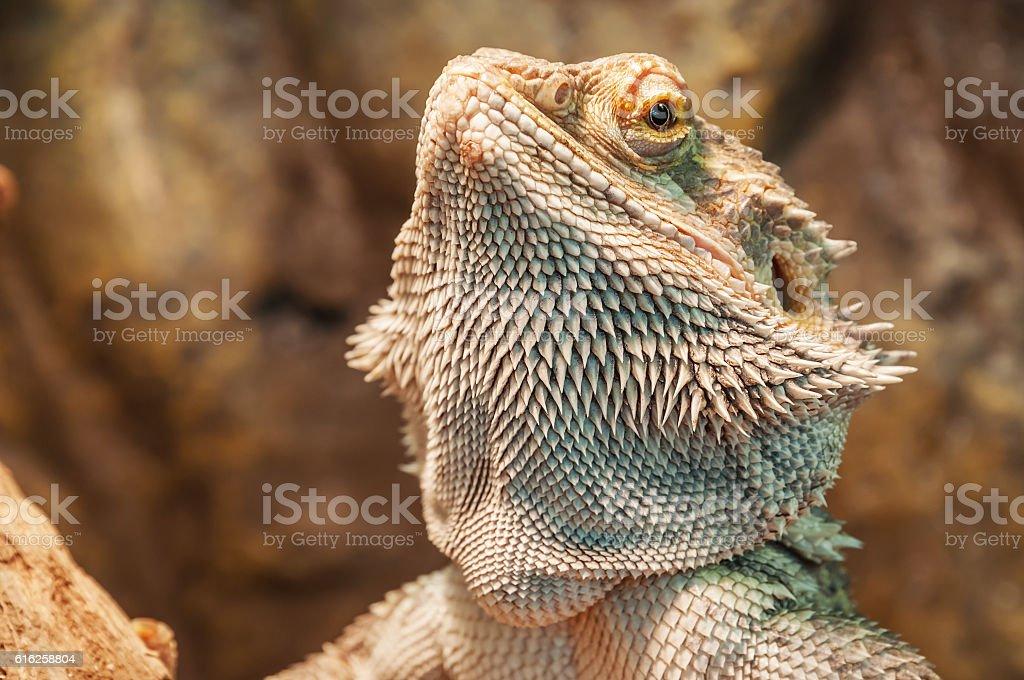 live agama lizard stock photo
