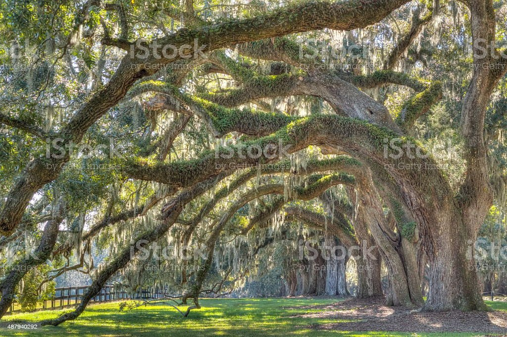 Live Angle Oak Tree stock photo