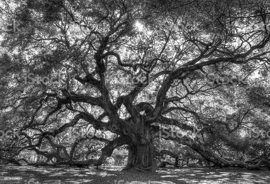 Live Angle Oak Tree stock photo