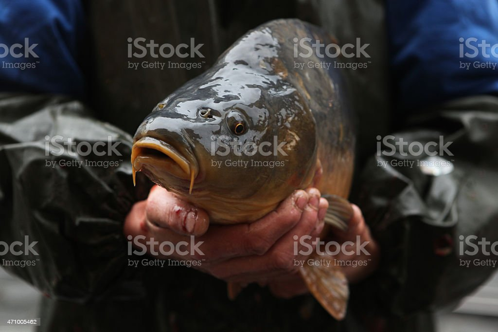 Live carp selling in Prague, Czech Republic. stock photo