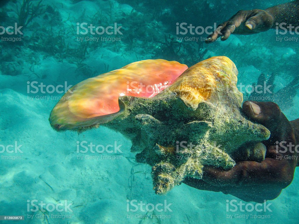 Live Conch stock photo