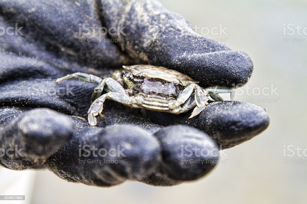 live crab on gloved hand stock photo