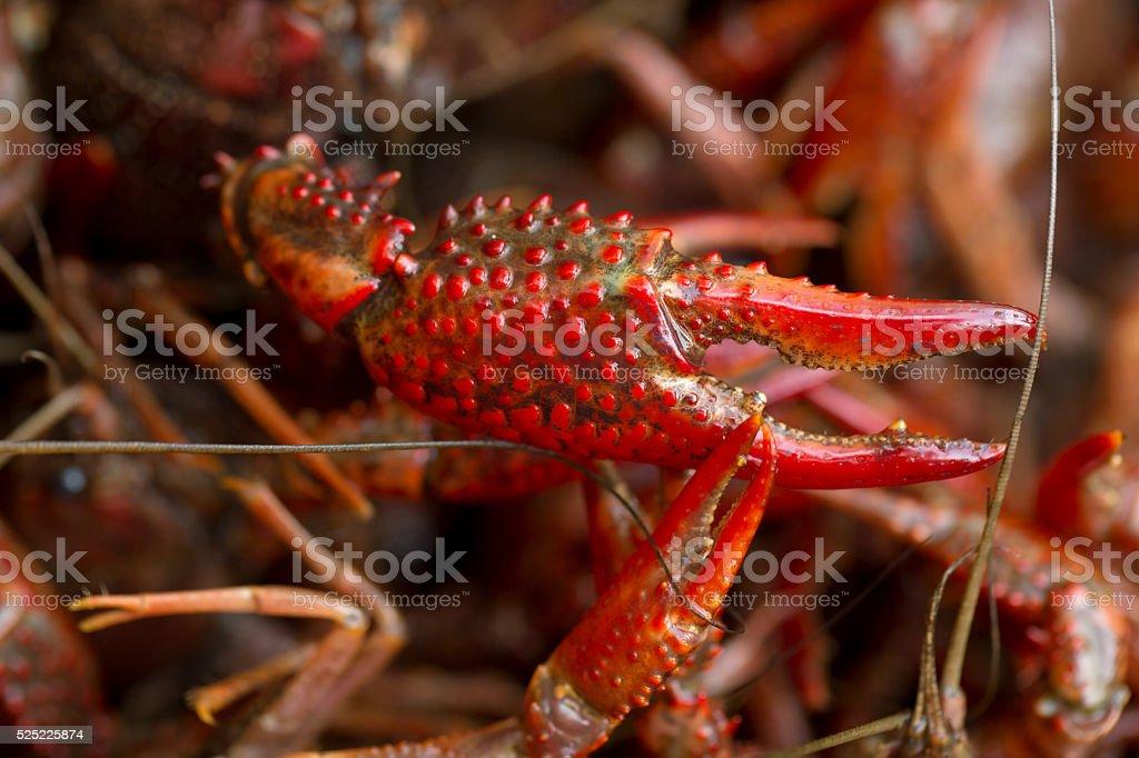 Live Crawfish Claws stock photo