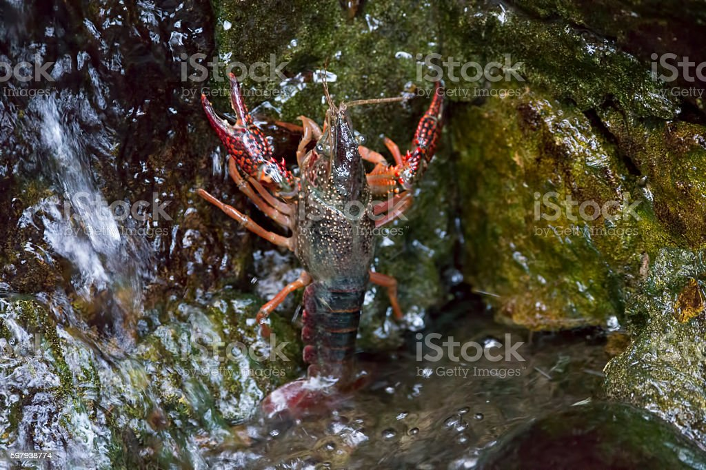 Live Crayfish in Golden Gate Park, San Francisco stock photo