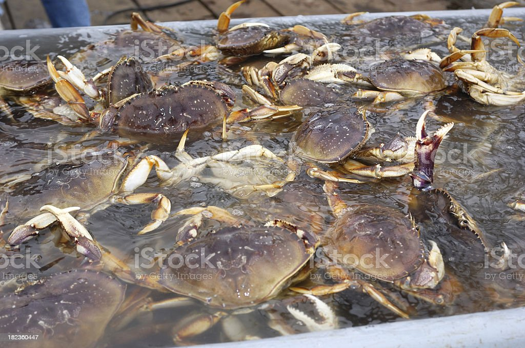 Live Dungeness Crabs in Shipping Container stock photo