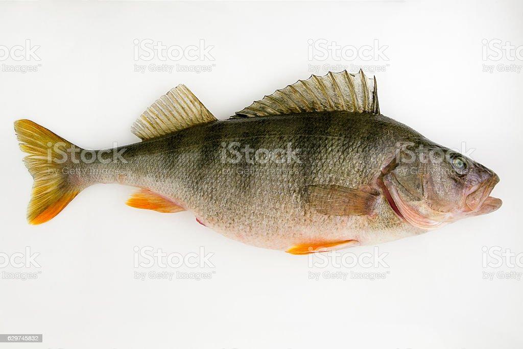 Live fish perch stock photo
