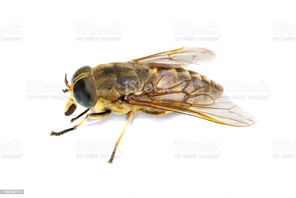 Live horsefly isolated on white background stock photo