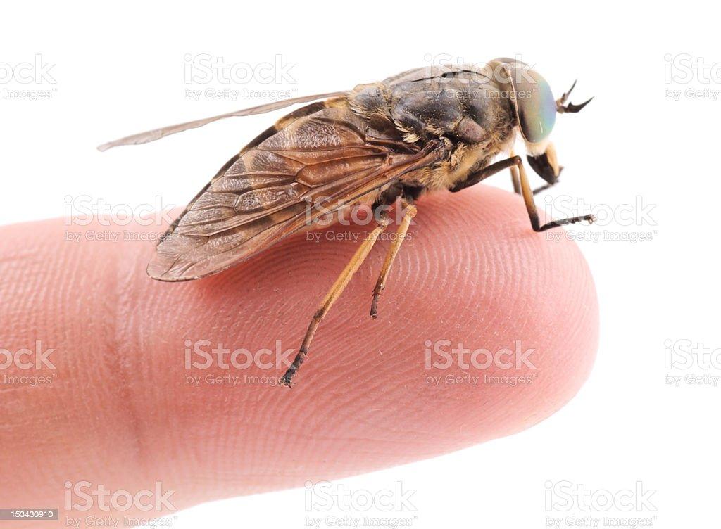 Live horsefly sitting on finger isolated royalty-free stock photo